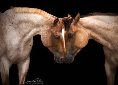 Quarter Horse red roan dun roan