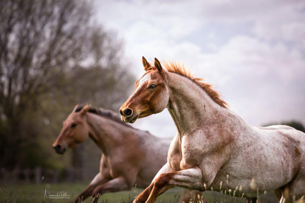 Quarter Horses free run