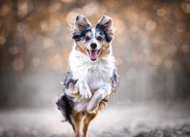 dog run aussie