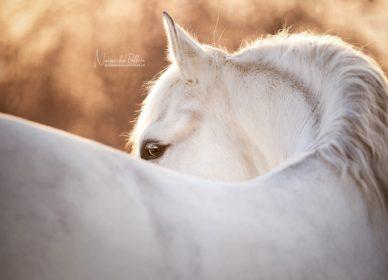 pre horse detail