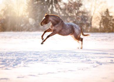 quarter horse red roan