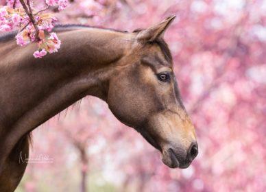 Quarter Horse stallion Kirschblüten